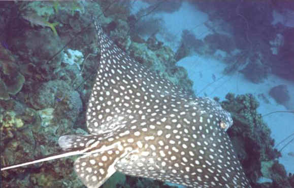 St. Croix SCUBA Diving - U.S. Virgin Islands - Eagle Ray